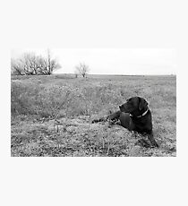 Labrador in Field Photographic Print
