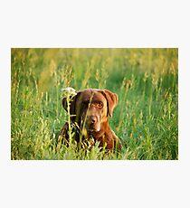 Labrador in Kansas Pasture Photographic Print