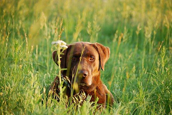 Labrador in Kansas Pasture by Suz Garten