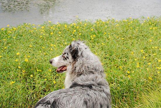 Australian Shepherd Gazes at Pond by Suz Garten