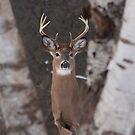 White-tailed Buck by Jim Cumming
