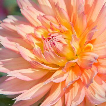 Delicate Pink Petals by Femaleform