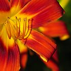 Red Lily at Sunset  by lorilee