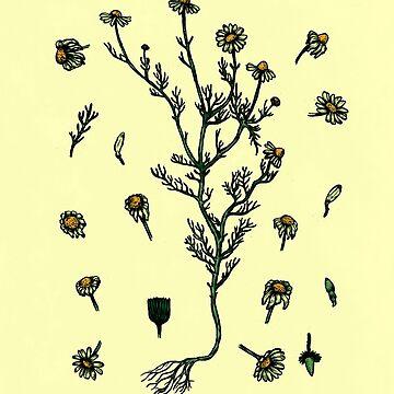 Chamomile Study by cucubaou