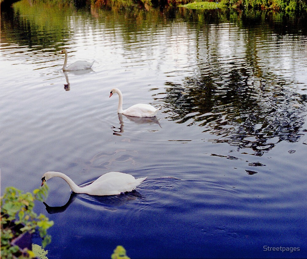 White Swan, group of 3 in colour image. by Streetpages