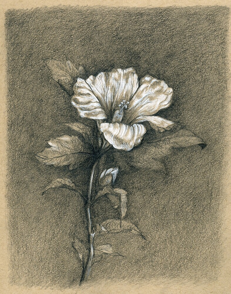 Hibiscus Drawing by HaydenHatch