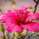 Beautiful Hibiscus Macro Image by Sunil Bhardwaj