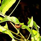 A Caterpillar on a Passion Vine by Daneann