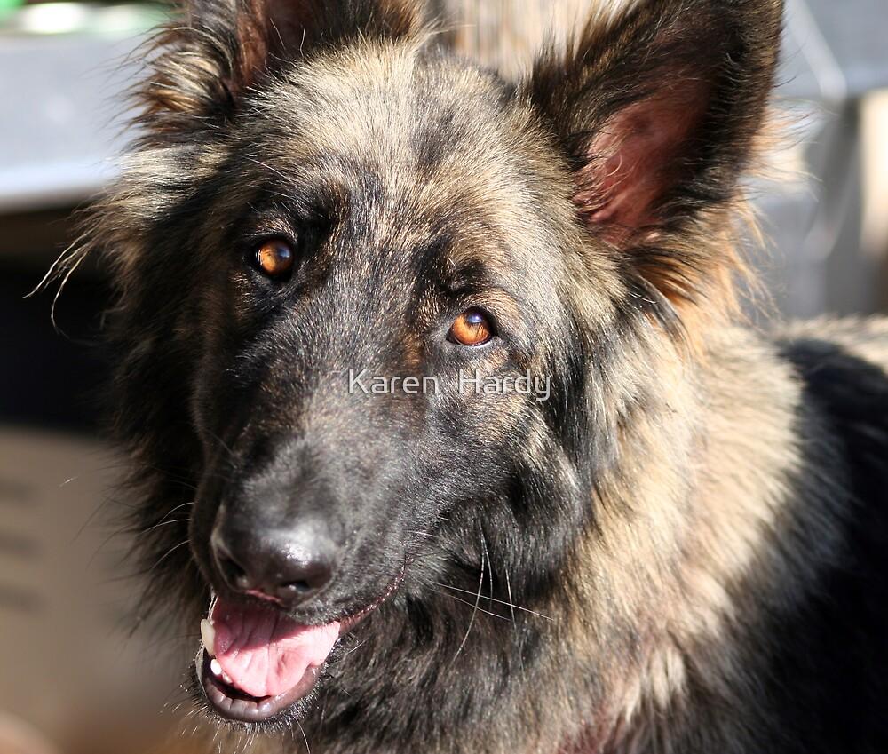 Max the Shilo Shepherd by Karen  Hardy