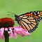 Monarchs!