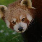 Red Panda by Franco De Luca Calce