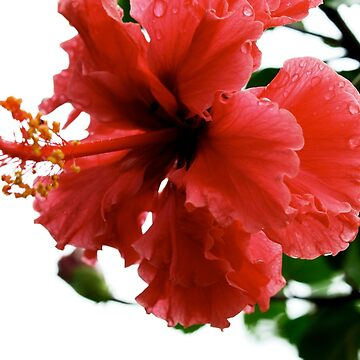 Red Hibiscus by dymock