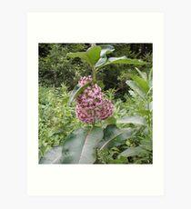 Common Milk Weed Blossom Art Print