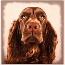 Portrait of a Sussex Spaniel by SMiddlebrook
