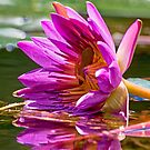 Frog Inside a Fallen Lily by TJ Baccari Photography