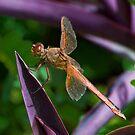 Orange Dragonfly on Purple Leaf by TJ Baccari Photography