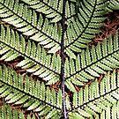 Wheki fern frond  by Tony Foster
