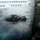 Harbor Seal by Shannon Barker