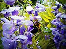 Wisteria and Bee by FrankieCat