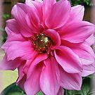 Vibrant Pink Dahlia - Vignette von BlueMoonRose