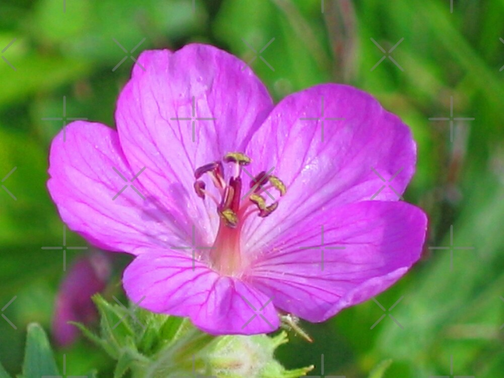 Sticky Purple Geranium by Vickie Emms