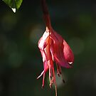 Fuchsia by Bryan D. Spellman