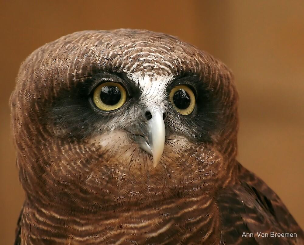 Rufous owl - photo#36