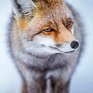 Fox by Patrice Mestari