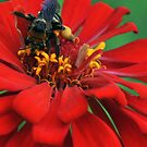 Bee on Red by Magricely Diaz