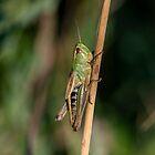 Hello Grasshopper by DonMc