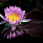 Last light on a Lily by cclaude