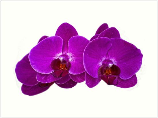 Fuchsia Phalaenopsis by photorolandi