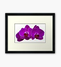 Fuchsia Phalaenopsis Framed Print