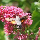 Hummingbird Hawk Moth #2 by missmoneypenny