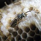 A wasp is born by Hans Bax
