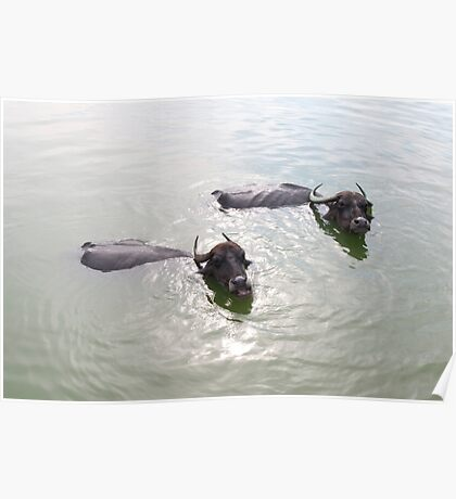 Cattle swimming in the Badami tank Poster