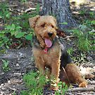 My Welsh Terrier - Tucker by barnsis