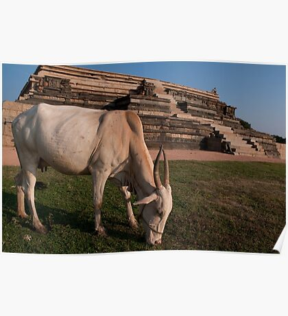 Grazing cow at Hampi Poster