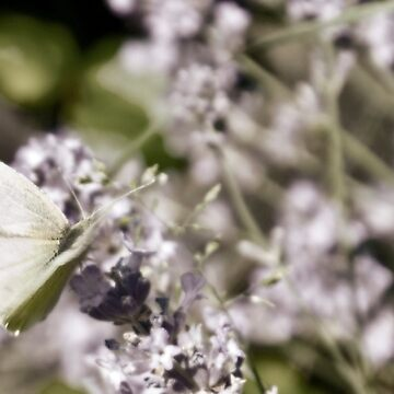 Butterfly on lavender by DeniseAbe