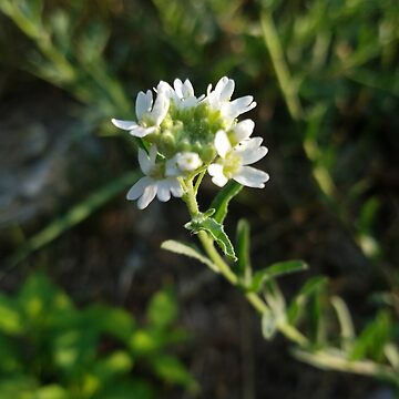White wild flower in NH by shawphotography
