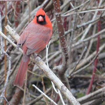 Male Cardinal by Margarite75