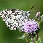 Marble White Butterfly (V) (Melanargia galathea) by DonMc