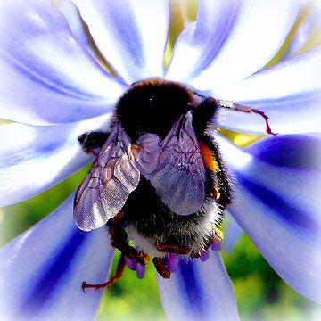 Bumblebee on Agapantus by angel1