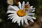 Daisy and Me  by Elaine Manley