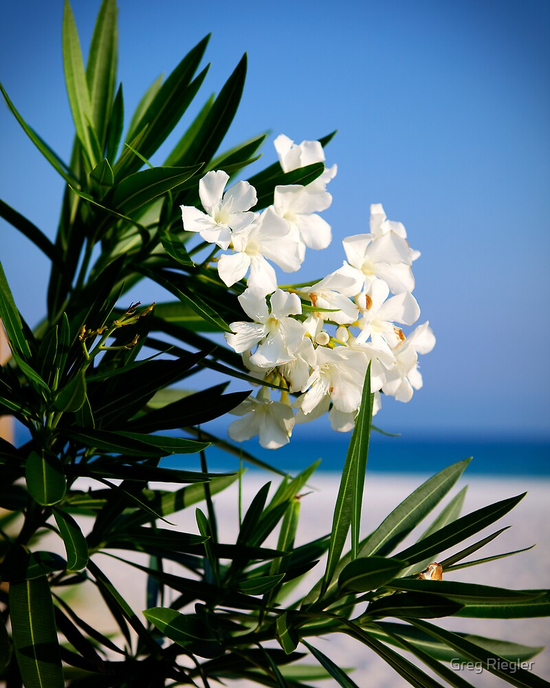 White Oleander by Greg Riegler