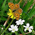 Wall Butterfly on Wild Flowers by jacqi