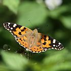 Painted Lady by Neil Ludford