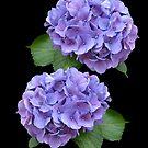 Purpurrote Hortensie blüht auf Schwarzem von Irisangel