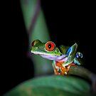Red-eyed Treefrog (Agalychnis callidryas) by Dave Huth