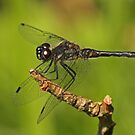 Male Black Darter by Robert Abraham